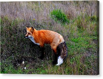 The Fox Canvas Print by Annie Pflueger