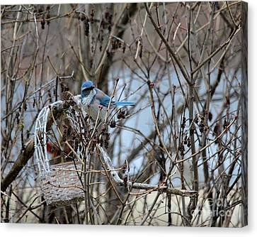 Canvas Print featuring the photograph The Gathering Blue Jay by Marjorie Imbeau
