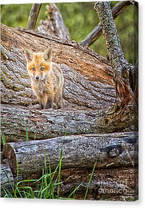 Fox Kit Canvas Print - The Gaze by Todd Bielby