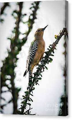 The Gila  Woodpecker Canvas Print by Robert Bales