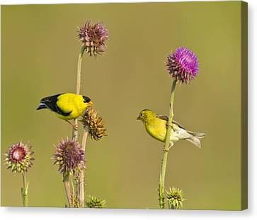 The Goldfinch Couple Canvas Print by Donna Caplinger