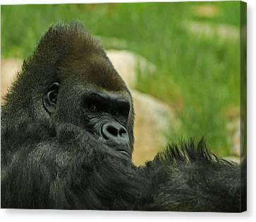 The Gorilla 2 Canvas Print by Ernie Echols