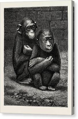 Chimpanzee Canvas Print - The Gorilla And Chimpanzee Exhibited At The Crystal Palace by English School