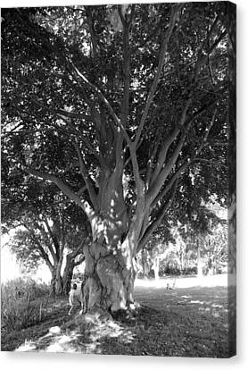 The Grandmother Tree Canvas Print by Sarah Lamoureux