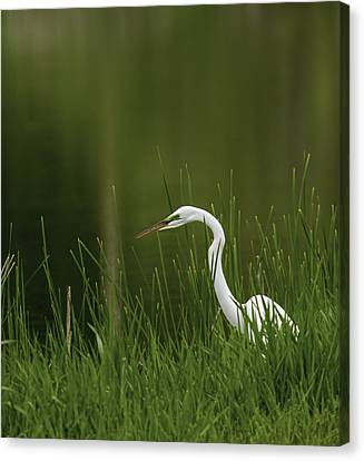 The Great Egret 3 Canvas Print by Thomas Young