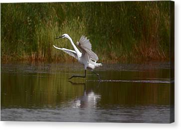 Canvas Print featuring the photograph The Great Egret by Leticia Latocki