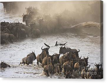 Canvas Print featuring the photograph The Great Migration  by Chris Scroggins