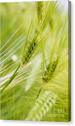 The Green Rye Beautiful Canvas Print by Boon Mee