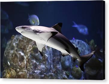 The Grey Reef Shark - Carcharhinus Amblyrhynchos Canvas Print by Goyo Ambrosio