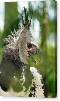 The Harpy Eagle (harpia Harpyja Canvas Print