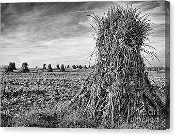 Amish Harvest Canvas Print by Dennis Hedberg