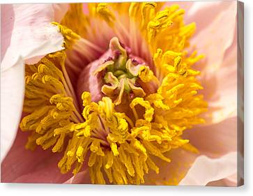 The Heart Of A Dahlia Canvas Print by Cathy Donohoue