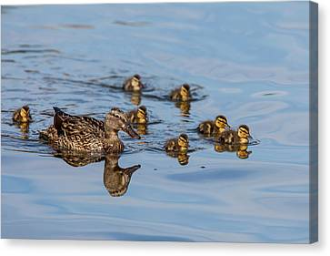 The Hen And Brood Of Young Mallard Canvas Print by Michael Qualls