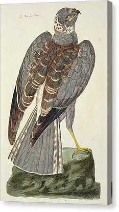 Saint-martin Canvas Print - Hen Harrier by Peter Paillou