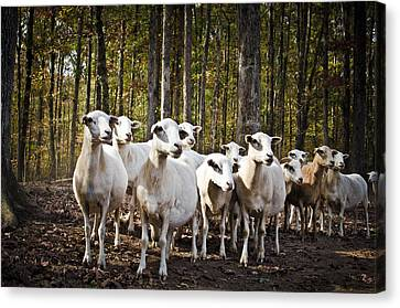 The Herd Canvas Print by Swift Family