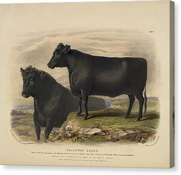 The Hereford Breed Canvas Print