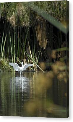 Canvas Print featuring the photograph The Heron Has Landed by Kevin Bergen