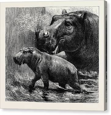 The Hippopotamus And Her Young One At The Zoological Gardens Canvas Print by English School
