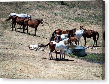 The Horses Of Placerville Canvas Print
