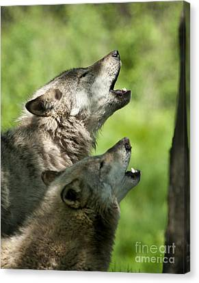 Canvas Print featuring the photograph The Howling by Wolves Only