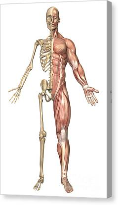 The Human Skeleton And Muscular System Canvas Print by Stocktrek Images