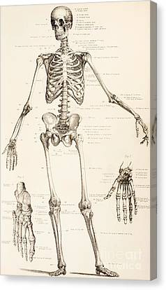 The Human Skeleton Canvas Print by English School
