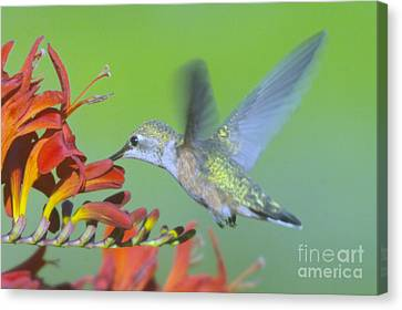 The Humming Bird Sips  Canvas Print