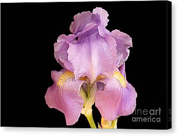 The Iris In All Her Glory Canvas Print