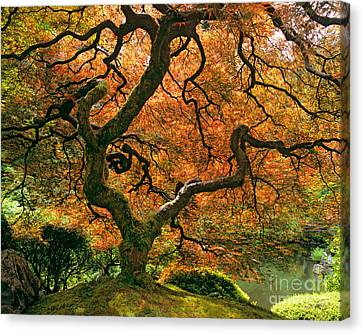 Red Leaf Canvas Print - The Japanese Maple by Timm Chapman