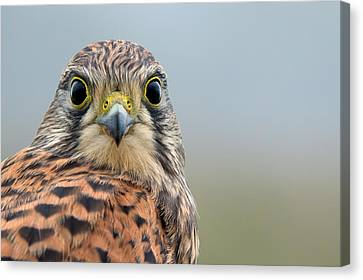 The Kestrel Face To Face Canvas Print