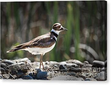 The Killdeer Canvas Print by Robert Bales