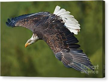 The King Of The Skies... Canvas Print by Nina Stavlund
