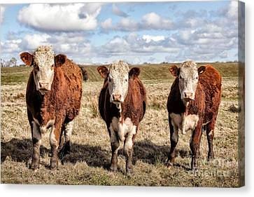 The Ladies Three Colourful Cows Canvas Print