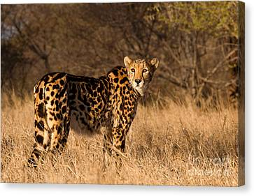 The Lady's A King Canvas Print by Ashley Vincent