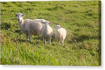 The Lamb Family  Canvas Print by Kimberly Reeves