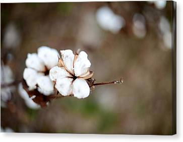 Canvas Print featuring the photograph The Land Of Cotton by Linda Mishler