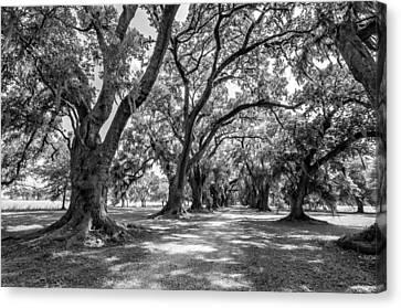 Evergreen Plantation Canvas Print - The Lane Bw by Steve Harrington