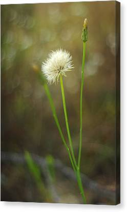 Canvas Print featuring the photograph The Last Dandelion by Suzanne Powers