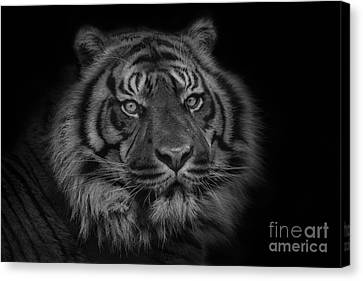 The Last Indonesian Canvas Print by Ashley Vincent