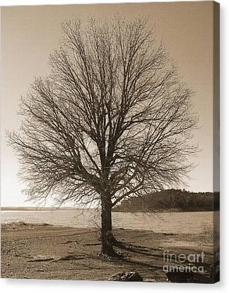 The Last Oak Canvas Print