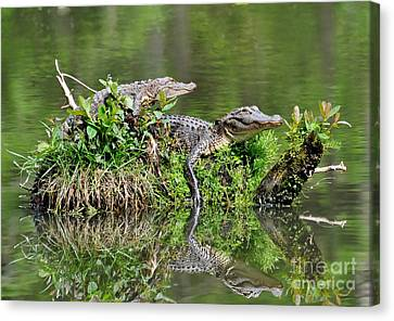 Canvas Print featuring the photograph The Lazy Gators by Kathy Baccari