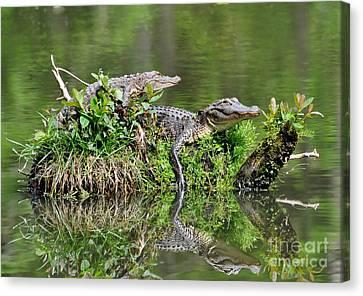 The Lazy Gators Canvas Print by Kathy Baccari