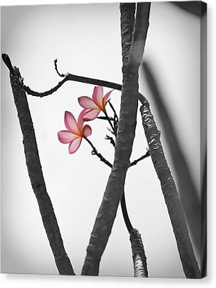 The Light Of Plumeria Canvas Print by Chris Ann Wiggins