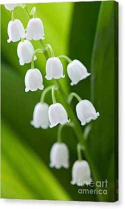 The Lily Of The Valley Canvas Print by Boon Mee