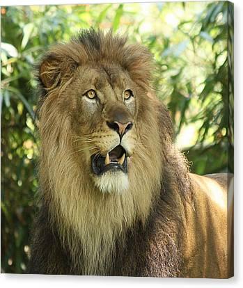 The Lion King Canvas Print by Kim Hojnacki