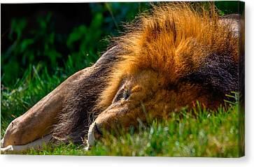 The Lion Sleeps Tonight Canvas Print by Brian Stevens