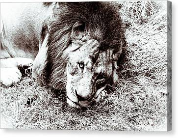Canvas Print featuring the photograph The Lion Sleeps Tonight by Wade Brooks