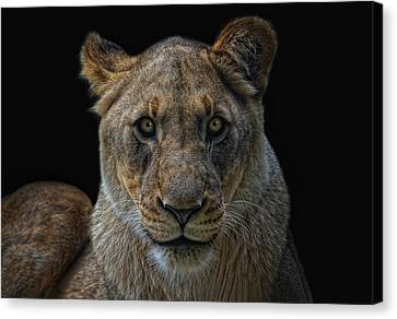 The Lioness Canvas Print by Joachim G Pinkawa