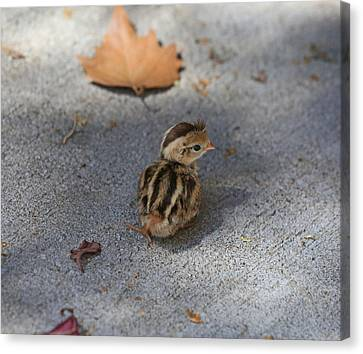 Quail Canvas Print - The Lone Survivor by Donna Kennedy