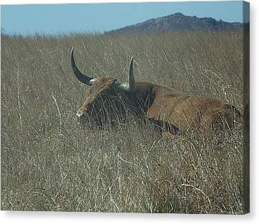 Canvas Print featuring the photograph The Longhorn by Alan Lakin